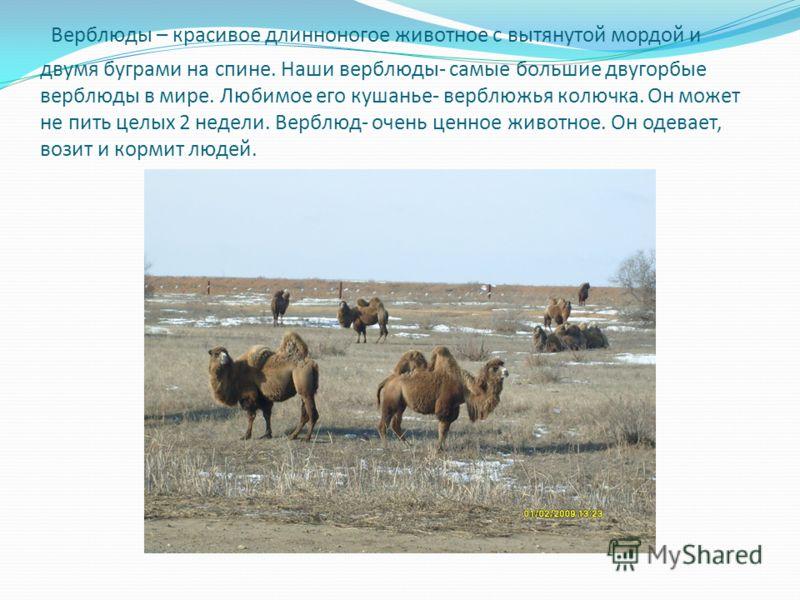 Верблюды – красивое длинноногое животное с вытянутой мордой и двумя буграми на спине. Наши верблюды- самые большие двугорбые верблюды в мире. Любимое его кушанье- верблюжья колючка. Он может не пить целых 2 недели. Верблюд- очень ценное животное. Он