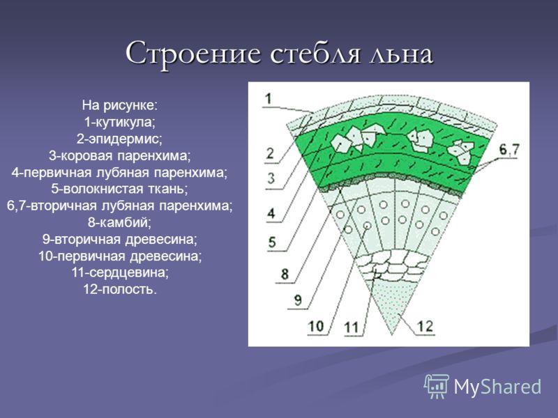 На рисунке: 1-кутикула; 2-эпидермис; 3-коровая паренхима; 4-первичная лубяная паренхима; 5-волокнистая ткань; 6,7-вторичная лубяная паренхима; 8-камбий; 9-вторичная древесина; 10-первичная древесина; 11-сердцевина; 12-полость. Строение стебля льна