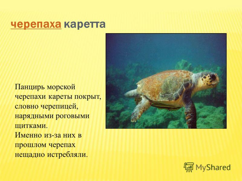 черепахачерепаха каретта Панцирь морской черепахи кареты покрыт, словно черепицей, нарядными роговыми щитками. Именно из-за них в прошлом черепах нещадно истребляли.