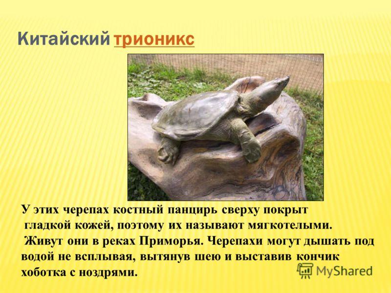 Китайский трионикстрионикс У этих черепах костный панцирь сверху покрыт гладкой кожей, поэтому их называют мягкотелыми. Живут они в реках Приморья. Черепахи могут дышать под водой не всплывая, вытянув шею и выставив кончик хоботка с ноздрями.