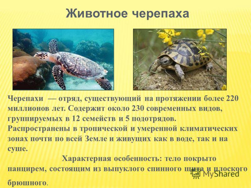 Животное черепаха Черепахи отряд, существующий на протяжении более 220 миллионов лет. Содержит около 230 современных видов, группируемых в 12 семейств и 5 подотрядов. Распространены в тропической и умеренной климатических зонах почти по всей Земле и
