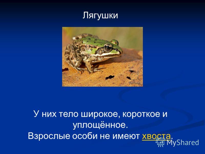 Лягушки У них тело широкое, короткое и уплощённое. Взрослые особи не имеют хвоста.хвоста