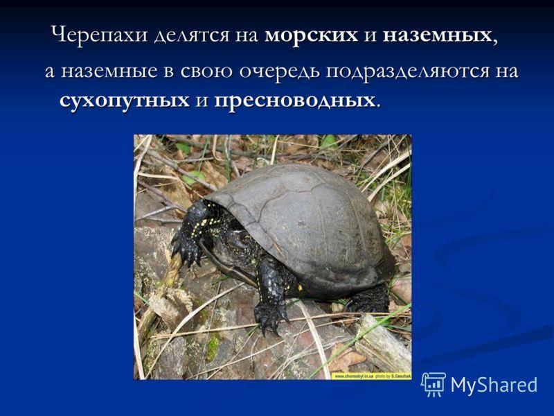 Черепахи делятся на морских и наземных, Черепахи делятся на морских и наземных, а наземные в свою очередь подразделяются на сухопутных и пресноводных. а наземные в свою очередь подразделяются на сухопутных и пресноводных.