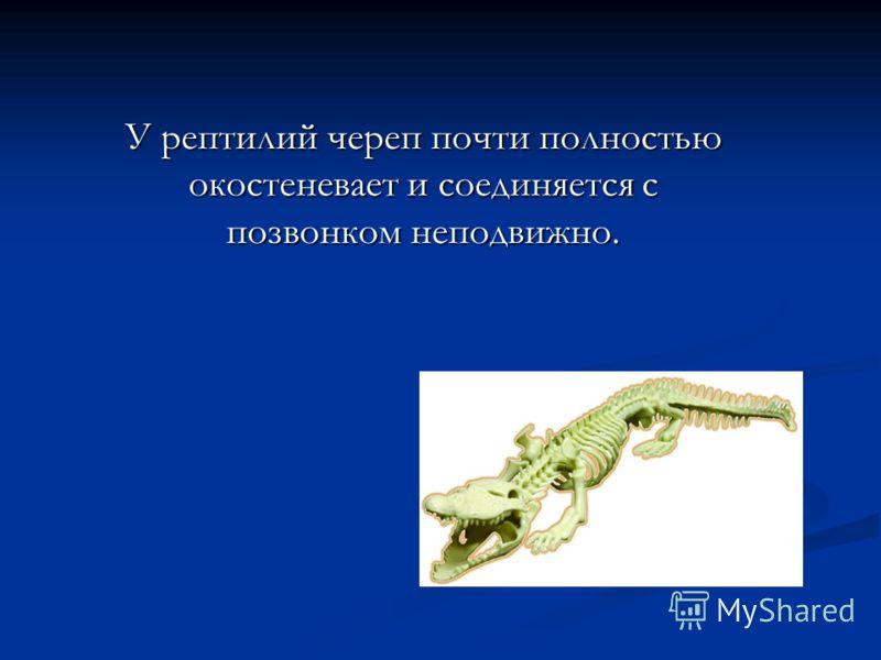 У рептилий череп почти полностью окостеневает и соединяется с позвонком неподвижно.