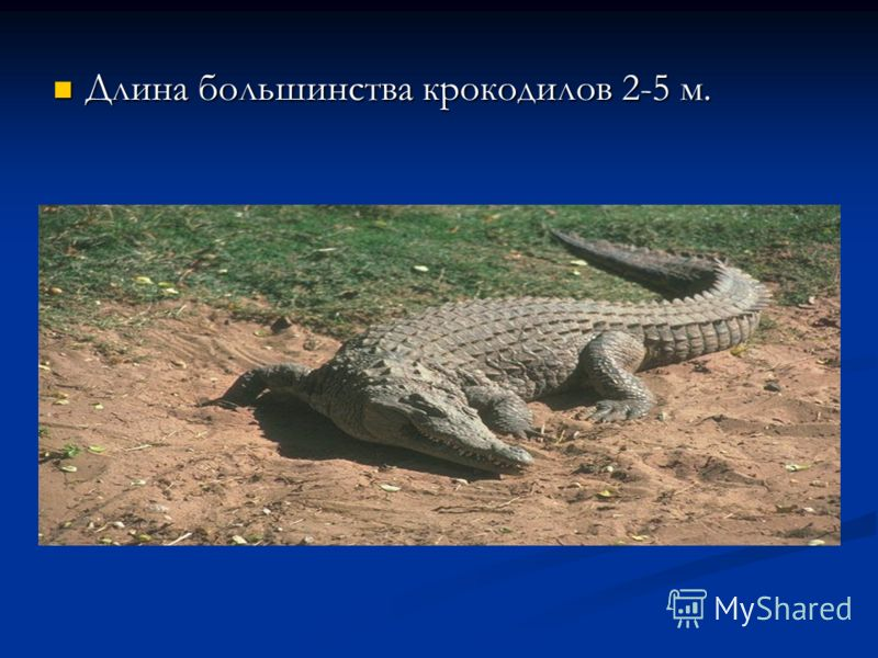 Длина большинства крокодилов 2-5 м. Длина большинства крокодилов 2-5 м.