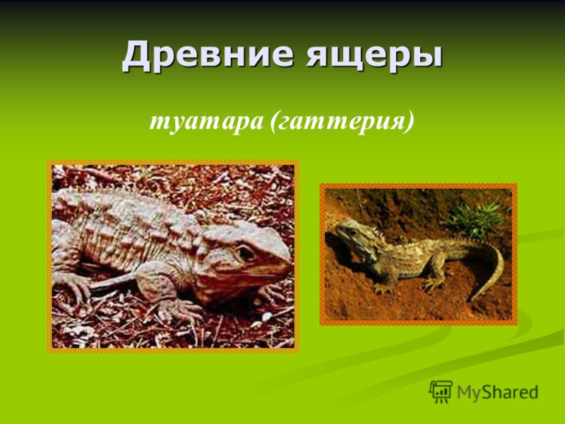 Древние ящеры туатара (гаттерия)