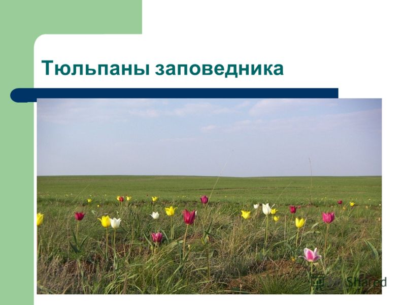 Тюльпаны заповедника