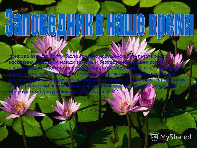 ля до сентября цветут плантации лотоса - море сине-зеленых листьев и розовых цветов, источающих нежный аромат. У восточных народов лотос - символ чистоты и благородства. В низовьях дельты Волги насчитывается более 290 видов растений. Среди них есть и