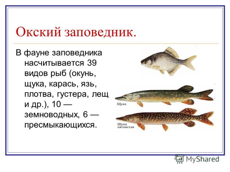 Окский заповедник. В фауне заповедника насчитывается 39 видов рыб (окунь, щука, карась, язь, плотва, густера, лещ и др.), 10 земноводных, 6 пресмыкающихся.