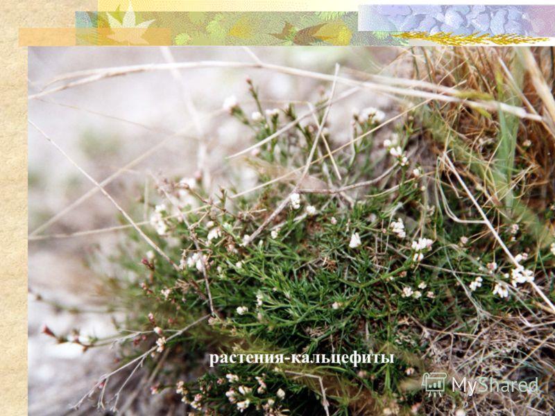 растения-кальцефиты