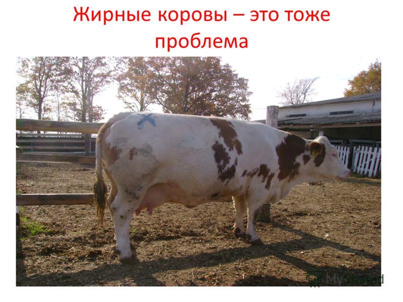 Жирные коровы – это тоже проблема