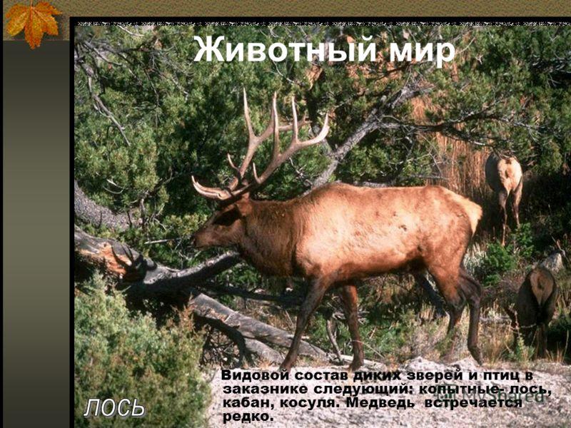 Животный мир Видовой состав диких зверей и птиц в заказнике следующий: копытные- лось, кабан, косуля. Медведь встречается редко.