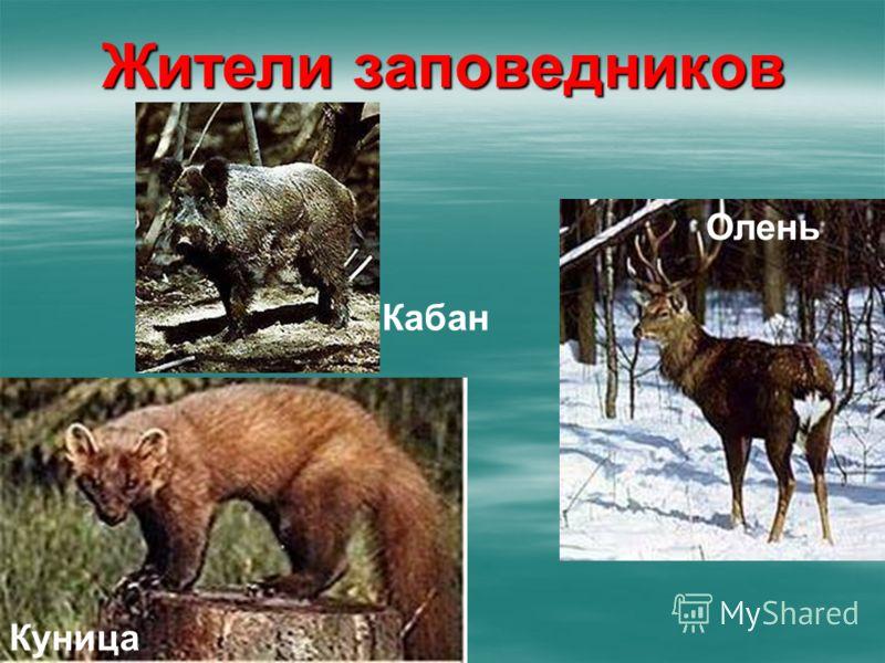 Жители заповедников Олень Кабан Куница