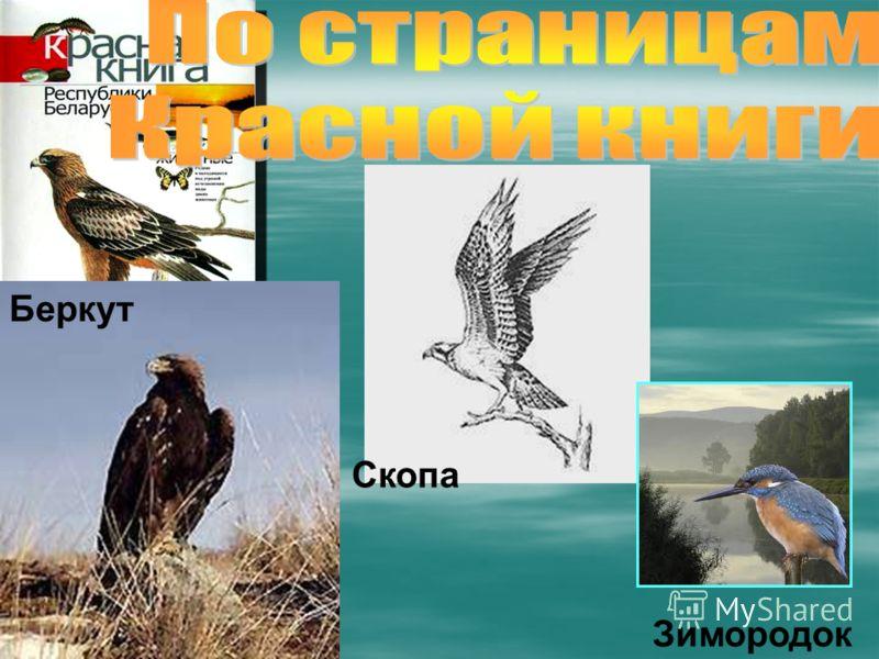 Зимородок Беркут Скопа