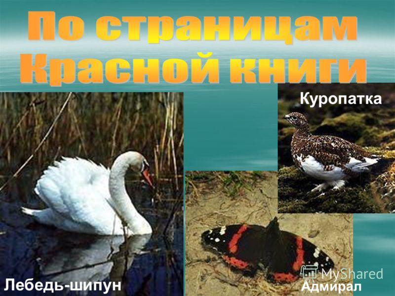 Адмирал Куропатка Лебедь-шипун