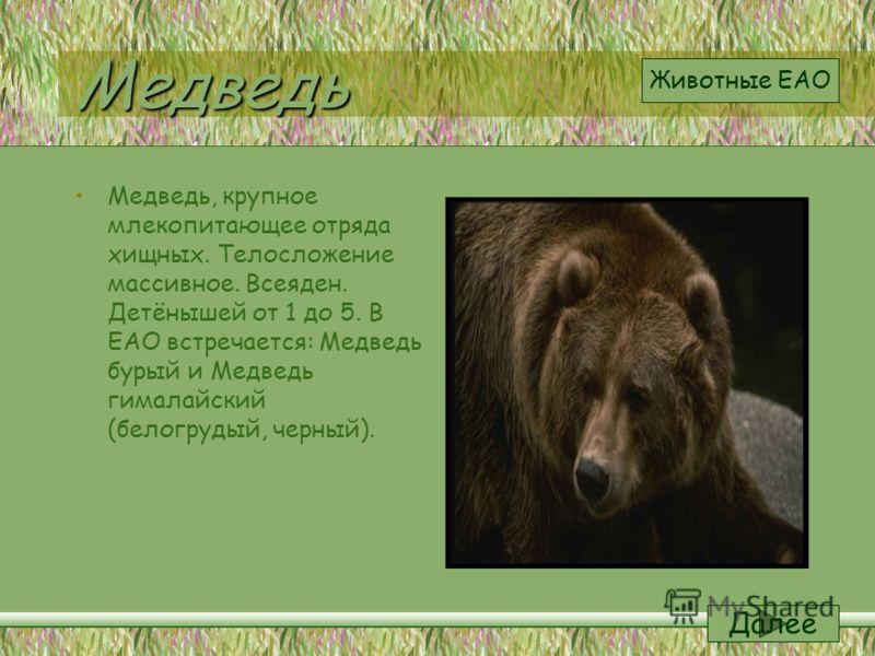 Медведь Медведь, крупное млекопитающее отряда хищных. Телосложение массивное. Всеяден. Детёнышей от 1 до 5. В ЕАО встречается: Медведь бурый и Медведь гималайский (белогрудый, черный). Далее Животные ЕАО