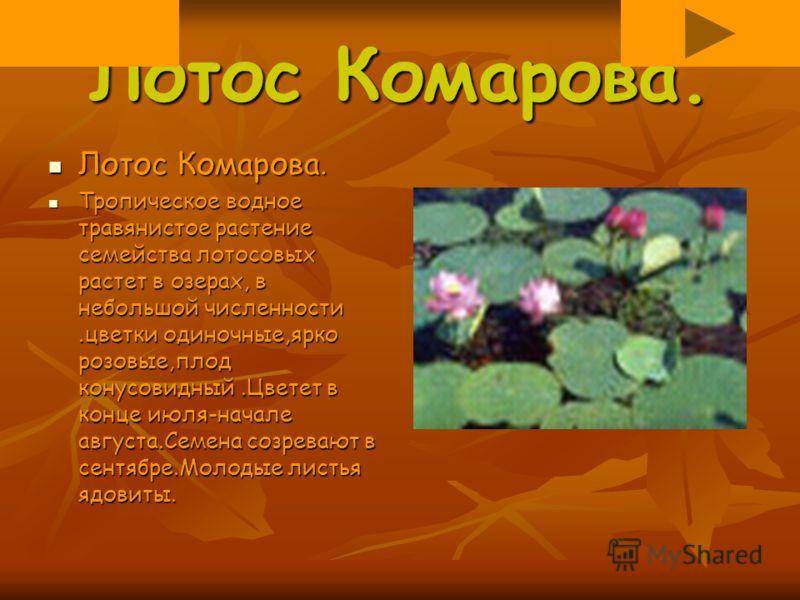 Лотос Комарова. Лотос Комарова. Тропическое водное травянистое растение семейства лотосовых растет в озерах, в небольшой численности.цветки одиночные,ярко розовые,плод конусовидный.Цветет в конце июля-начале августа.Семена созревают в сентябре.Молоды