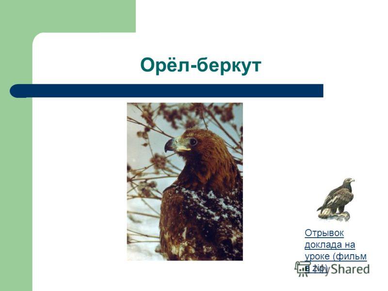 Орёл-беркут Отрывок доклада на уроке (фильм в zip)