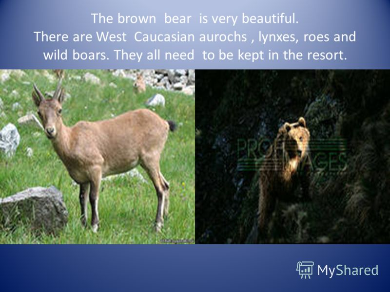 The brown bear is very beautiful. There are West Caucasian aurochs, lynxes, roes and wild boars. They all need to be kept in the resort.