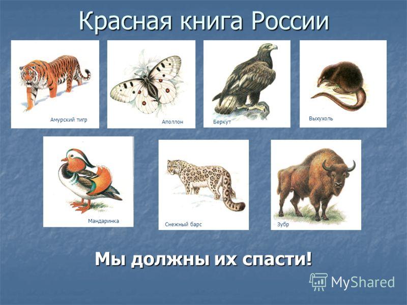 Красная книга России Мы должны их спасти! Амурский тигр АполлонБеркут Выхухоль Мандаринка Снежный барсЗубр