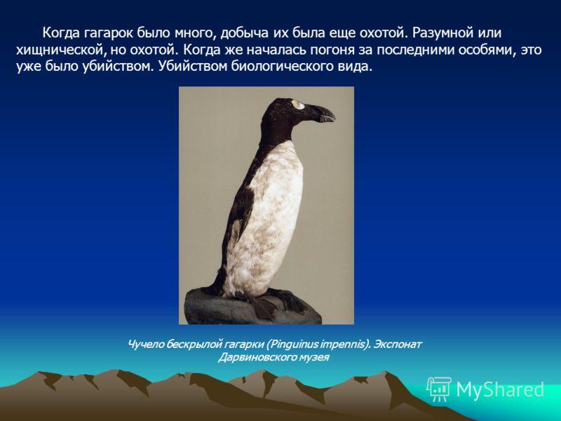 Когда гагарок было много, добыча их была еще охотой. Разумной или хищнической, но охотой. Когда же началась погоня за последними особями, это уже было убийством. Убийством биологического вида. Чучело бескрылой гагарки (Pinguinus impennis). Экспонат Д