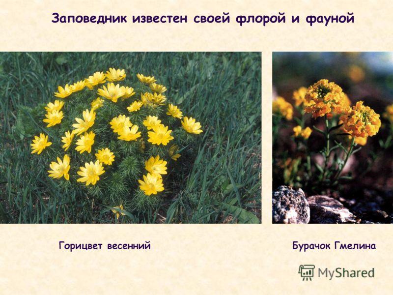 Заповедник известен своей флорой и фауной Горицвет весеннийБурачок Гмелина