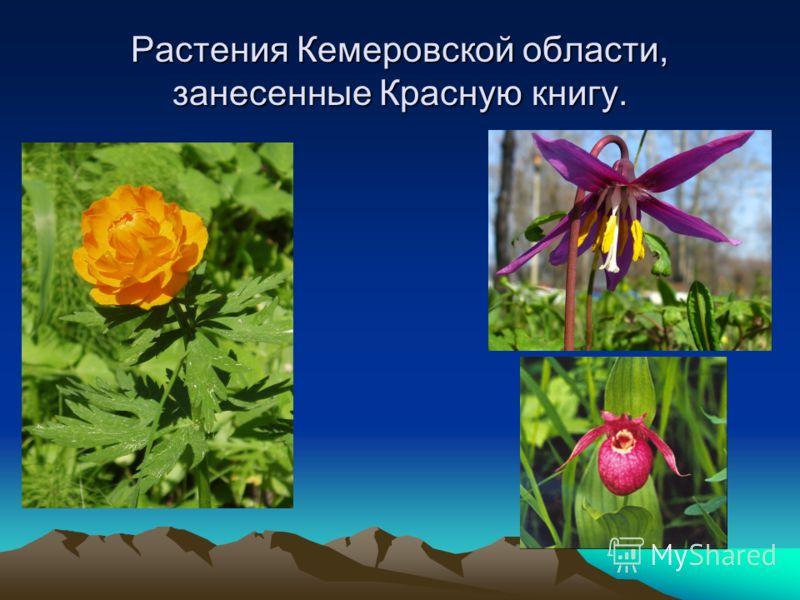 Растения Кемеровской области, занесенные Красную книгу.