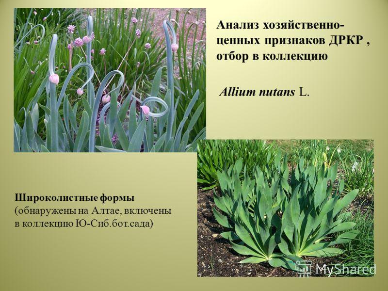 Широколистные формы (обнаружены на Алтае, включены в коллекцию Ю-Сиб.бот.сада) Allium nutans L. Анализ хозяйственно- ценных признаков ДРКР, отбор в коллекцию