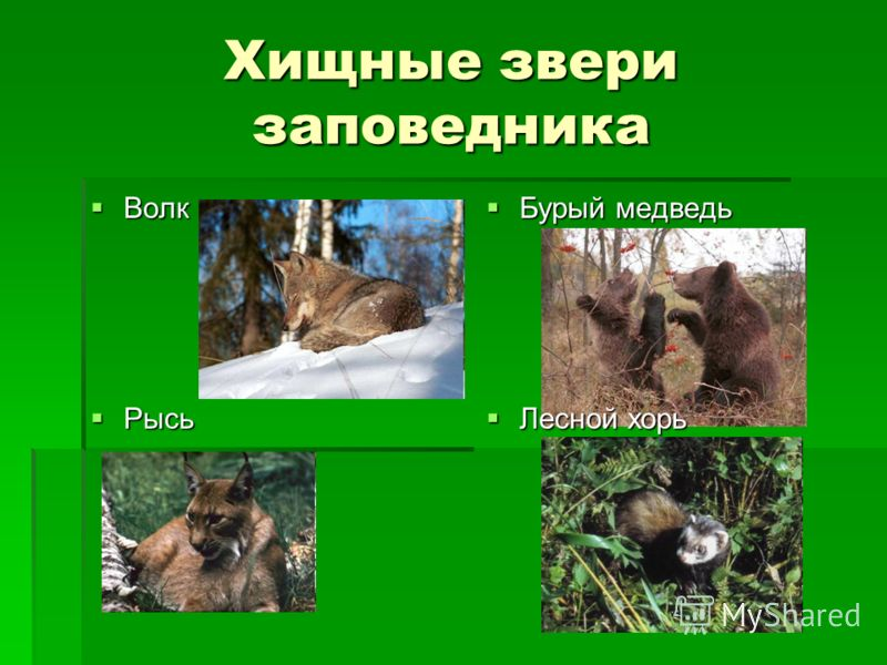 Презентация На Тему Бурый Медведь