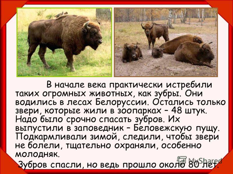 В начале века практически истребили таких огромных животных, как зубры. Они водились в лесах Белоруссии. Остались только звери, которые жили в зоопарках – 48 штук. Надо было срочно спасать зубров. Их выпустили в заповедник – Беловежскую пущу. Подкарм