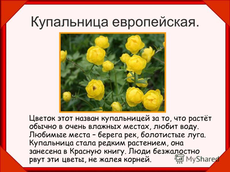 Купальница европейская. Цветок этот назван купальницей за то, что растёт обычно в очень влажных местах, любит воду. Любимые места – берега рек, болотистые луга. Купальница стала редким растением, она занесена в Красную книгу. Люди безжалостно рвут эт