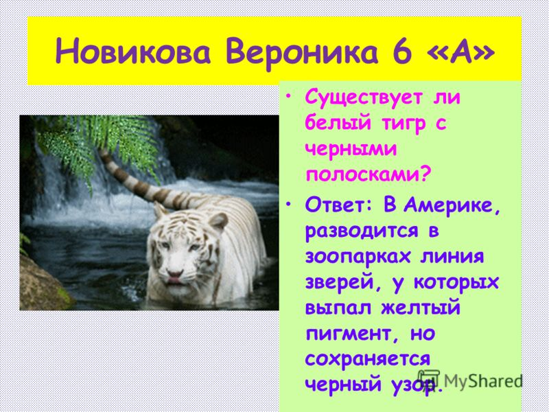 Новикова Вероника 6 «А» Существует ли белый тигр с черными полосками? Ответ: В Америке, разводится в зоопарках линия зверей, у которых выпал желтый пигмент, но сохраняется черный узор.