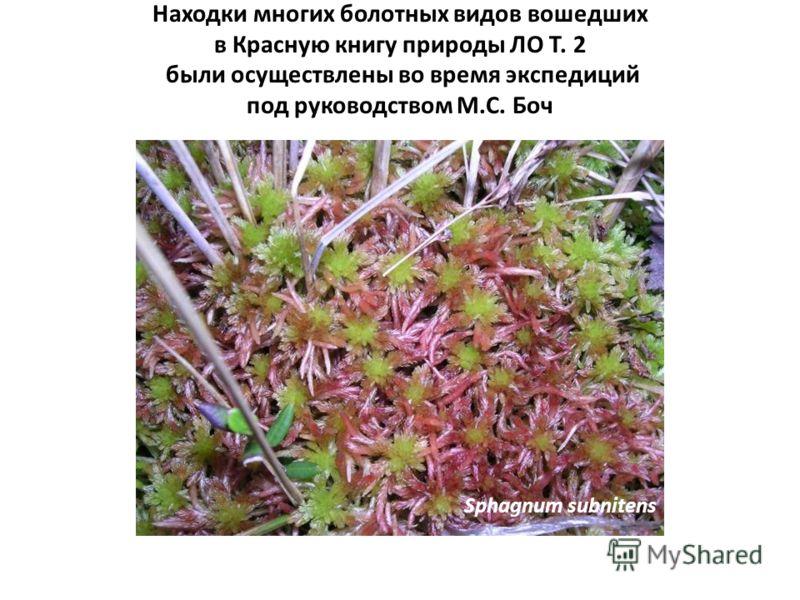 Находки многих болотных видов вошедших в Красную книгу природы ЛО Т. 2 были осуществлены во время экспедиций под руководством М.С. Боч Sphagnum subnitens