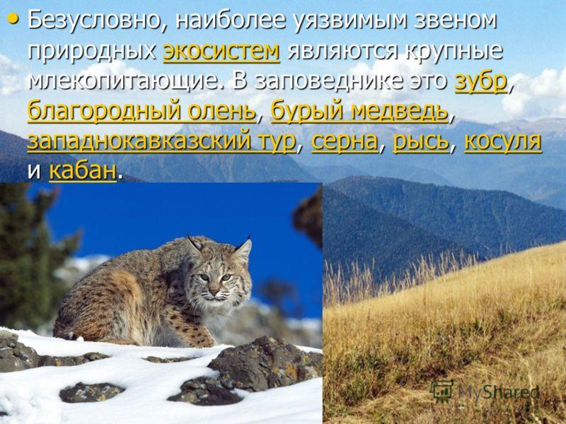 Безусловно, наиболее уязвимым звеном природных экосистем являются крупные млекопитающие. В заповеднике это зубр, благородный олень, бурый медведь, западнокавказский тур, серна, рысь, косуля и кабан. Безусловно, наиболее уязвимым звеном природных экос