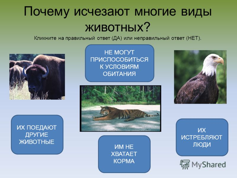 Почему исчезают многие виды животных? Кликните на правильный ответ (ДА) или неправильный ответ (НЕТ). ИХ ИСТРЕБЛЯЮТ ЛЮДИ НЕ МОГУТ ПРИСПОСОБИТЬСЯ К УСЛОВИЯМ ОБИТАНИЯ ИХ ПОЕДАЮТ ДРУГИЕ ЖИВОТНЫЕ ИМ НЕ ХВАТАЕТ КОРМА