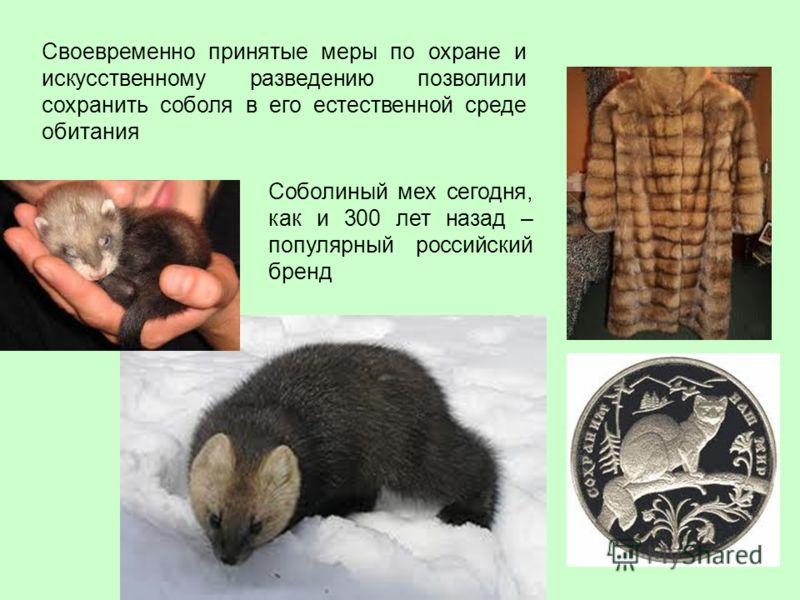 Своевременно принятые меры по охране и искусственному разведению позволили сохранить соболя в его естественной среде обитания Соболиный мех сегодня, как и 300 лет назад – популярный российский бренд