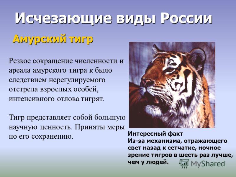 Исчезающие виды России Амурский тигр Резкое сокращение численности и ареала амурского тигра к было следствием нерегулируемого отстрела взрослых особей, интенсивного отлова тигрят. Тигр представляет собой большую научную ценность. Приняты меры по его