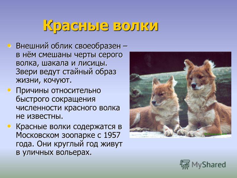 Красные волки Внешний облик своеобразен – в нём смешаны черты серого волка, шакала и лисицы. Звери ведут стайный образ жизни, кочуют. Внешний облик своеобразен – в нём смешаны черты серого волка, шакала и лисицы. Звери ведут стайный образ жизни, кочу