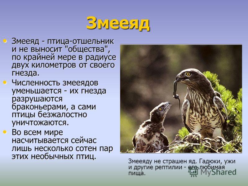 Змееяд Змееяд - птица-отшельник и не выносит