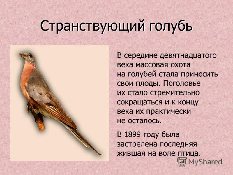 Странствующий голубь В середине девятнадцатого века массовая охота на голубей стала приносить свои плоды. Поголовье их стало стремительно сокращаться и к концу века их практически не осталось. В 1899 году была застрелена последняя жившая на воле птиц
