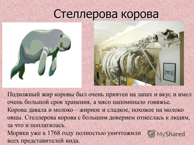 Стеллерова корова Стеллерова корова Подкожный жир коровы был очень приятен на запах и вкус и имел очень большой срок хранения, а мясо напоминало говяжье. Корова давала и молоко – жирное и сладкое, похожее на молоко овцы. Стеллерова корова с большим д