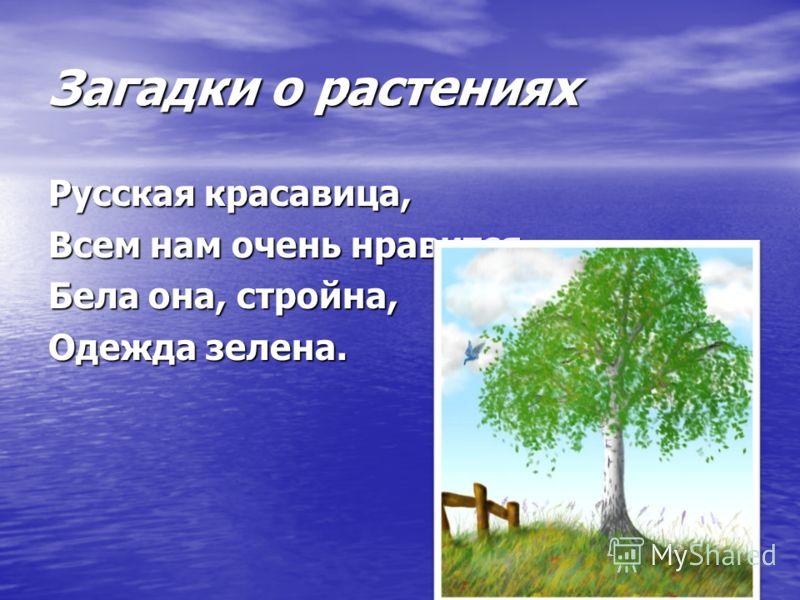 Загадки о растениях Русская красавица, Всем нам очень нравится. Бела она, стройна, Одежда зелена.