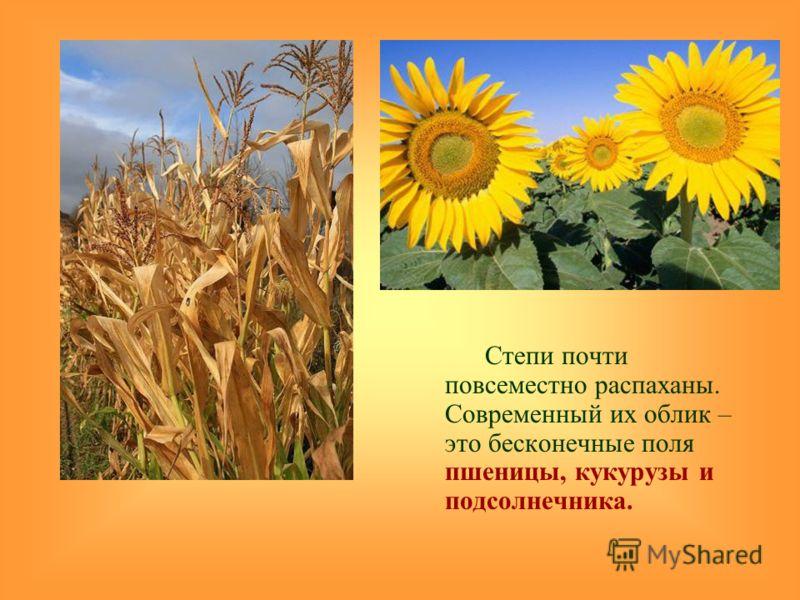 Степи почти повсеместно распаханы. Современный их облик – это бесконечные поля пшеницы, кукурузы и подсолнечника.