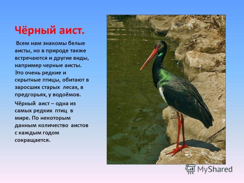 Всем нам знакомы белые аисты, но в природе также встречаются и другие виды, например черные аисты. Это очень редкие и скрытные птицы, обитают в заросших старых лесах, в предгорьях, у водоёмов. Чёрный аист – одна из самых редких птиц в мире. По некото