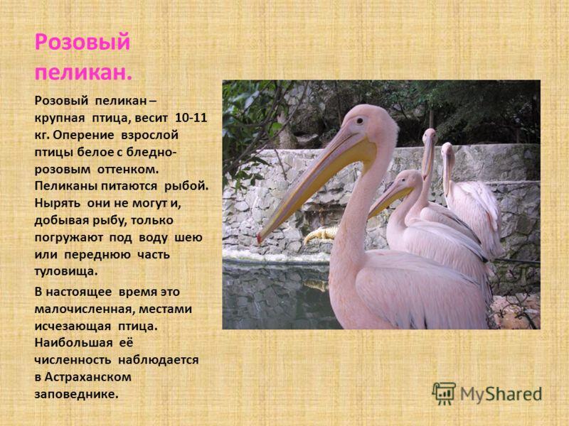 Розовый пеликан. Розовый пеликан – крупная птица, весит 10-11 кг. Оперение взрослой птицы белое с бледно- розовым оттенком. Пеликаны питаются рыбой. Нырять они не могут и, добывая рыбу, только погружают под воду шею или переднюю часть туловища. В нас
