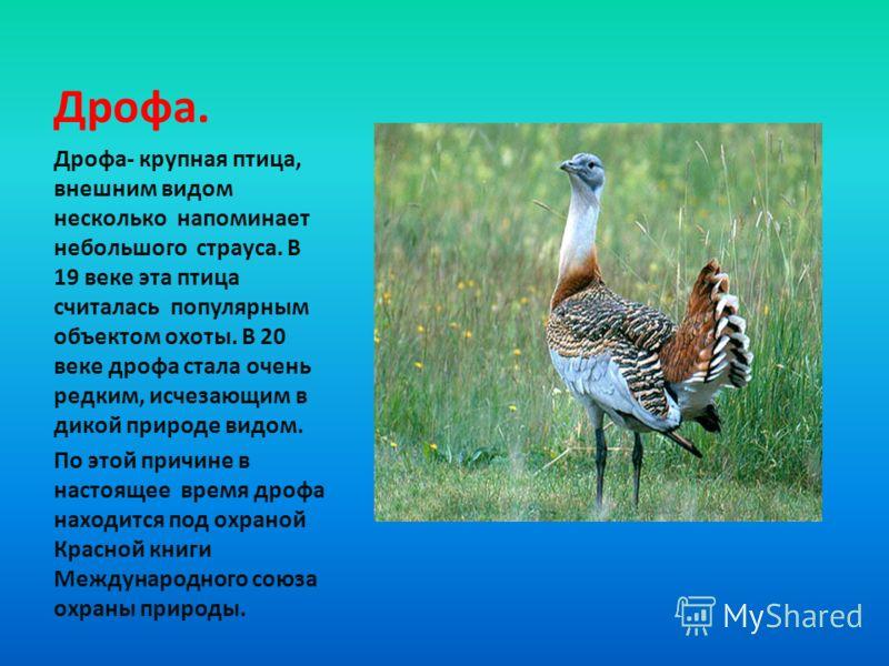 Дрофа- крупная птица, внешним видом несколько напоминает небольшого страуса. В 19 веке эта птица считалась популярным объектом охоты. В 20 веке дрофа стала очень редким, исчезающим в дикой природе видом. По этой причине в настоящее время дрофа находи
