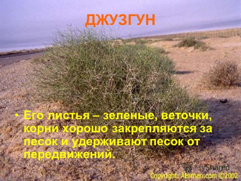 ДЖУЗГУН Его листья – зеленые, веточки, корни хорошо закрепляются за песок и удерживают песок от передвижений.