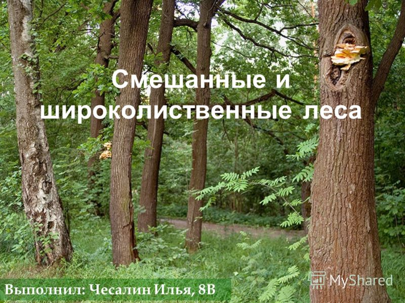 Смешанные и широколиственные леса Выполнил: Чесалин Илья, 8В