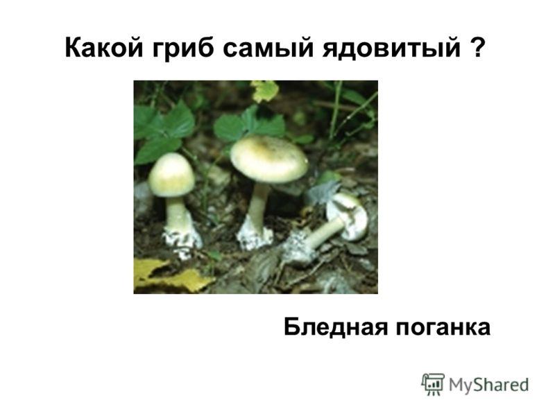 Какой гриб самый ядовитый ? Бледная поганка