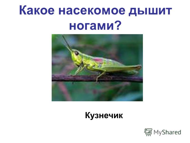 Какое насекомое дышит ногами? Кузнечик